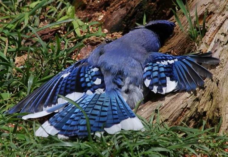 Burung blue jay