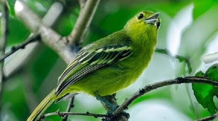 Cipoh Spesies Burung Bersuara Merdu Yang Sulit Ditaklukan
