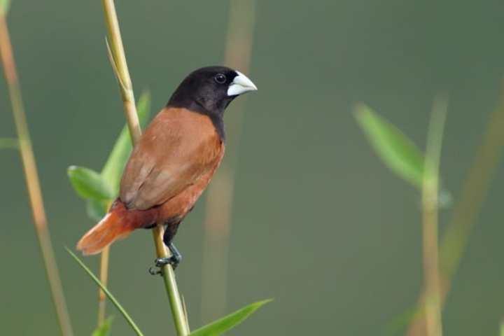 Burung Pipit