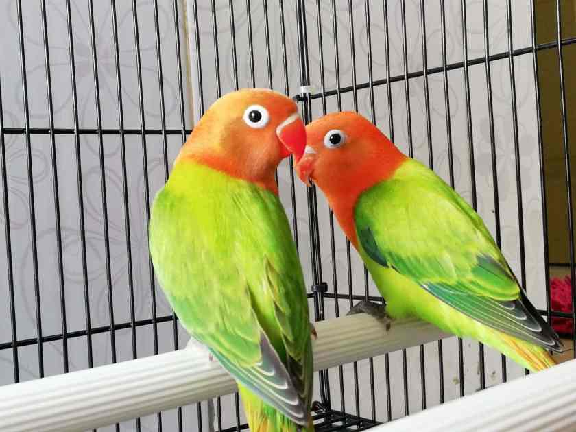 Love Bird Biola Green Standar