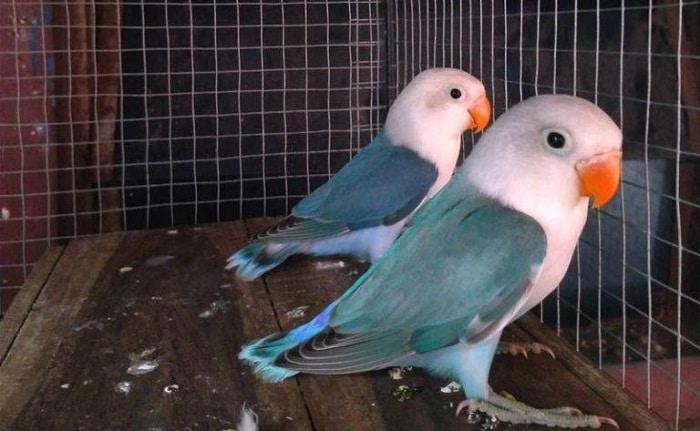 Cara Mencetak Lovebird Kepala Elang Yang Pasti Berhasil