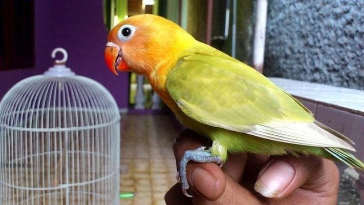 Mengenal Karakteristik Lovebird Balibu dan Dewasa