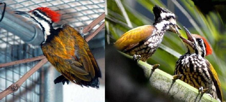 Penangkaran Burung Pelatuk Bawang