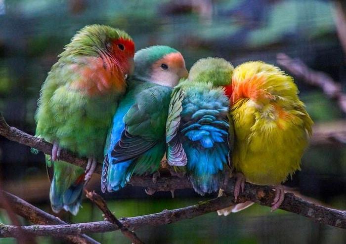 mutasi warna lovebird