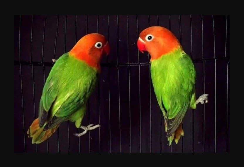 Cara Hemat Untuk Mencetak Lovebird Biola Isabella