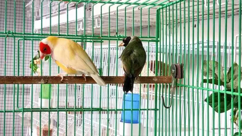 Jantan punggung kuning dan betina punggung hijau.