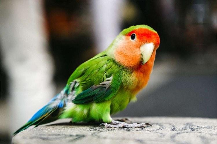 600+  Gambar Burung Hantu Kacang Ijo HD Paling Keren