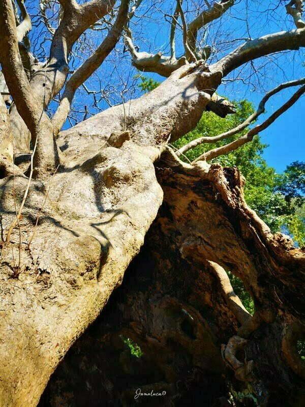 Platano di Curinga tronco