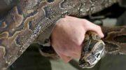 ilustrasi-ular-piton