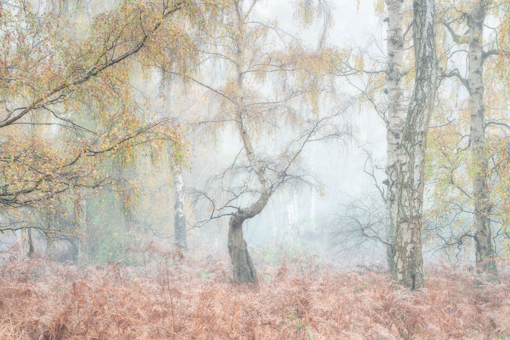Silver Birch trees at Holme Fen Nature Reserve in Cambridgeshire on a misty autumn morning.