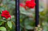 7-52-18|Roses-14|©JamesECockroft-20130502