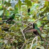 7 52 34 Costa RicaHummingbirds©JamesECockroft 20130822