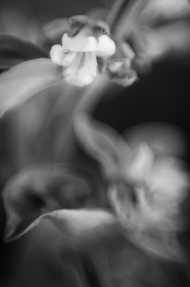 basil-flower|©JamesECockroft-20140503