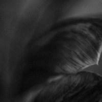 Ageing Tulips2©JamesECockroft 20140201