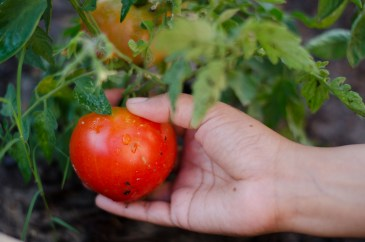 First Fruit|9|©JamesECockroft-20140613