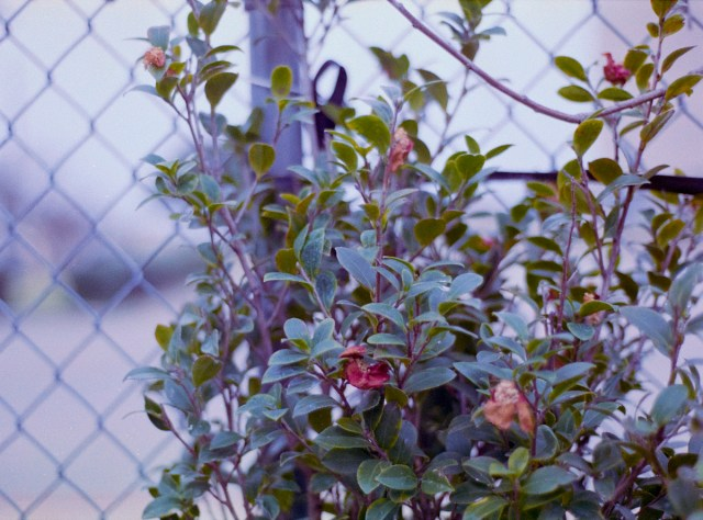 chain link and vine