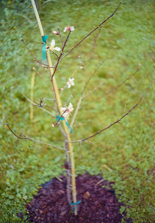 baby peach tree in bloom
