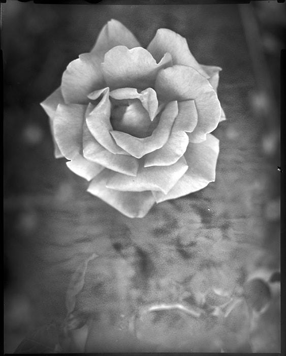Rose Rising