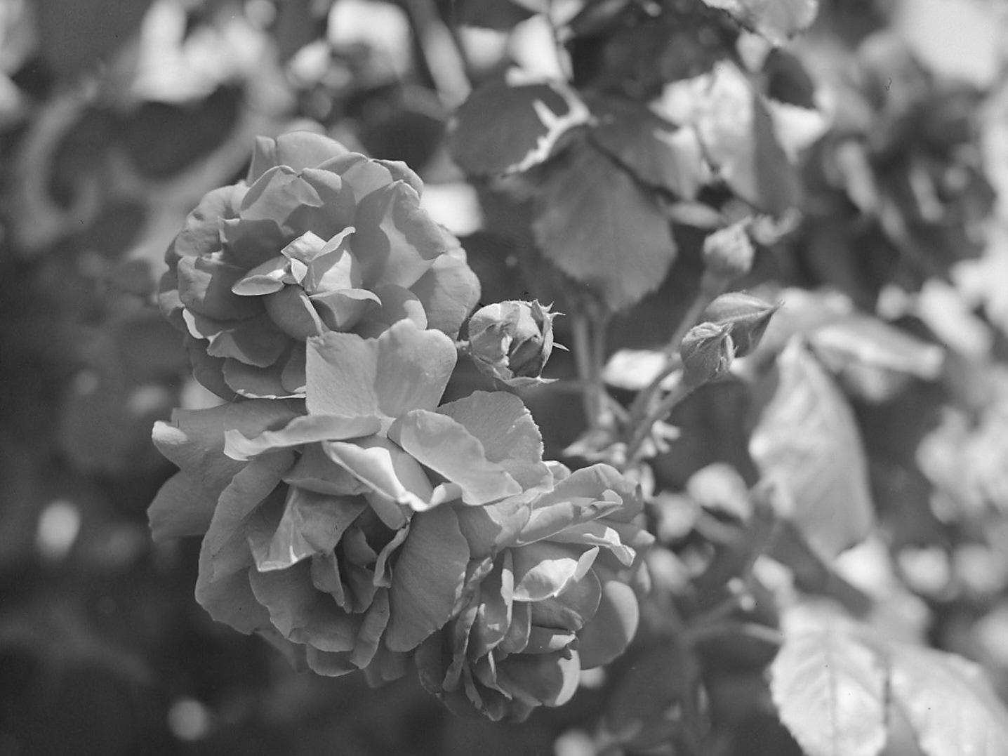 20160415 1724 4x5 roses ©JamesECockroft 4423 1