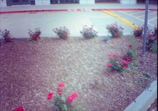 rosebushes, blurred