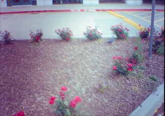 rosebushes, blurred