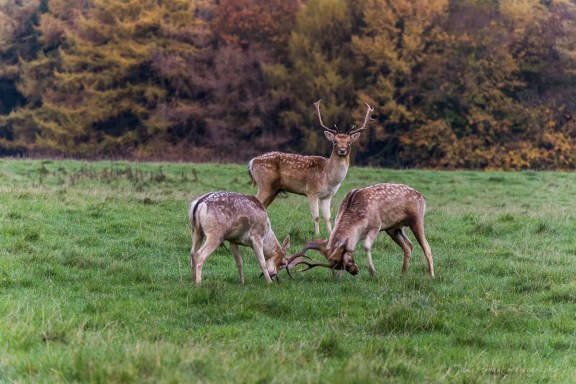Deers Rutting at Chatsworth - Peak District Photography