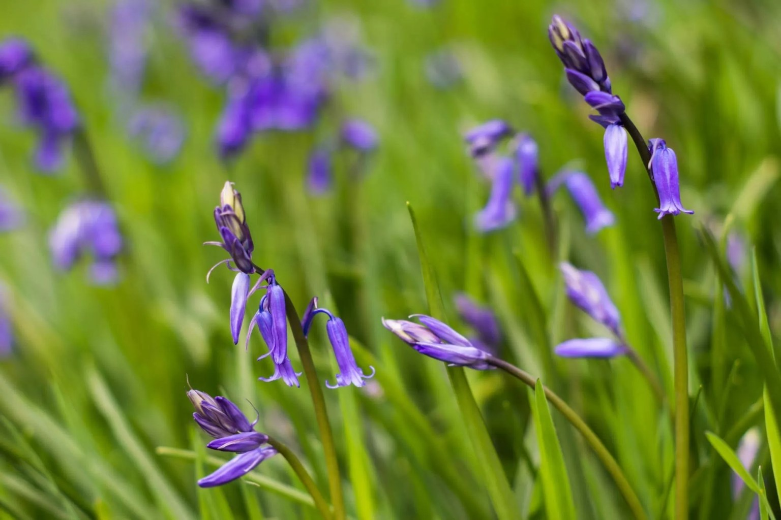 Bluebells - Peak District Photography