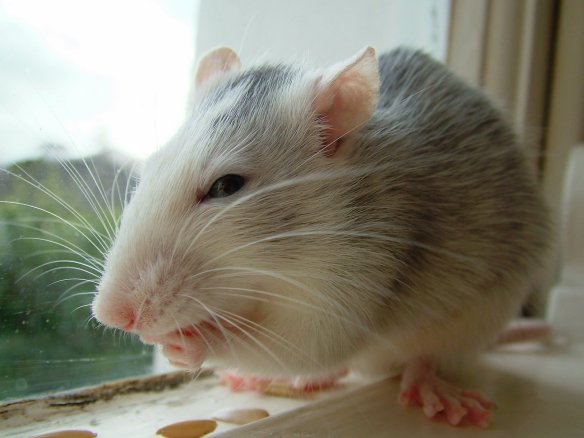 Rats: cuter critters than you suspected.