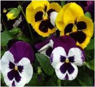 time to plant pansies-https://www.jandnfeedandseed.com