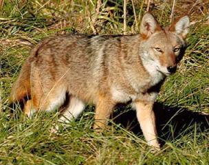 coyote_eastern_380