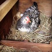 Hen on Nesting Box