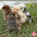 Spring chicks arrive at J&N Feed and Seed on April 3 and April 10, 2019.