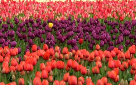 Red and purple tulips in a field, with a single yellow tulip standing out