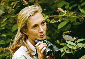 Scientist Jane Goodall in Gombe National Park. 1965