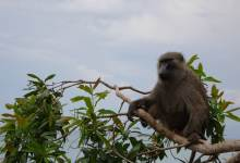 Baboon sitting in a tree in Gombe National Park. Jane's Journey filming.