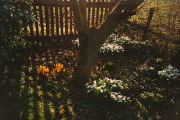 Fencing and snowdrops