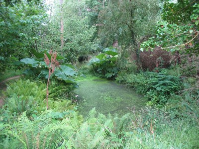 Wild pool with gunnera