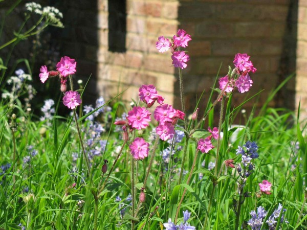 Red campion in meadow