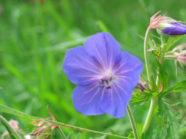 Deep blue geranium sylvestris flower