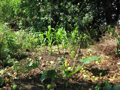 Under the apple tree - sweetcorn and chard