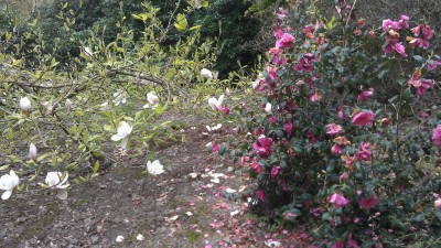 Fading camellias, pink and white
