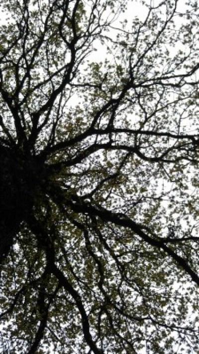 Oak tree leafing