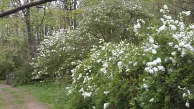 Exochorda in Evenley