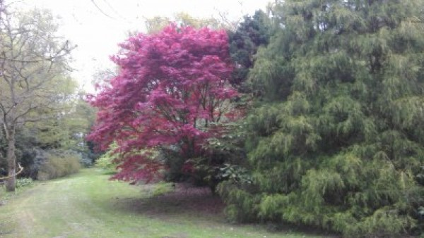 Maroon and green maples