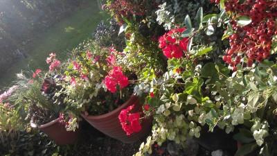 pelargoniums in pots