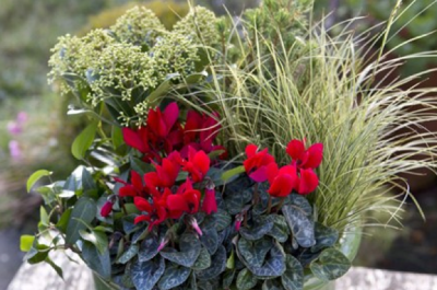 Cyclamen and skimmia container