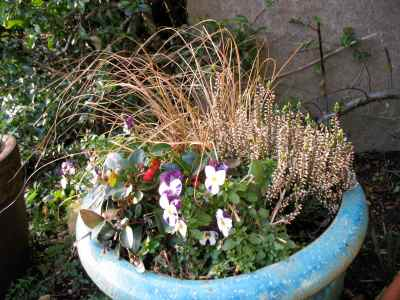 winter container with carex grass and violas