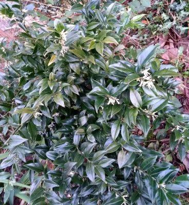 Sarcococca confusa shrub