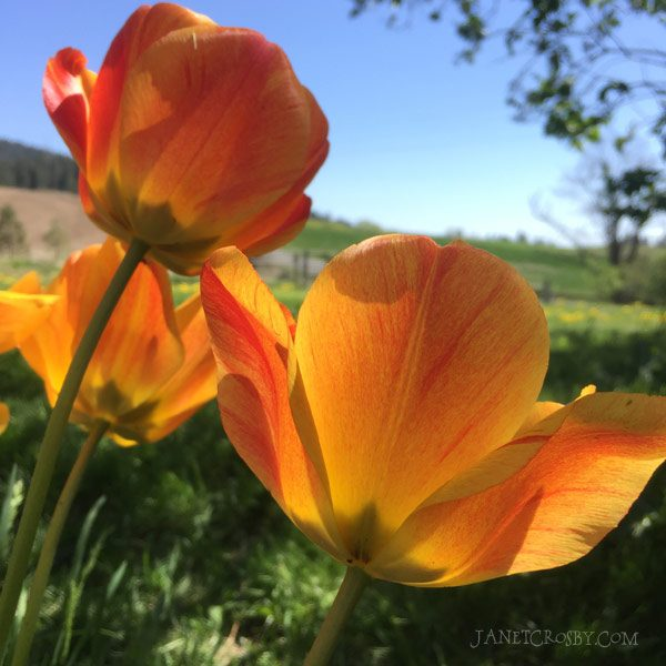 Tulips on a spring day - janetcrosby.com