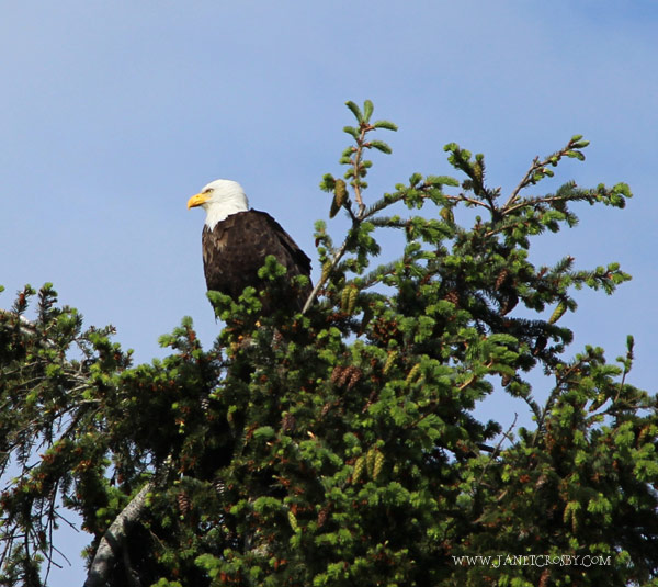 Eagle Sitting In A Tree